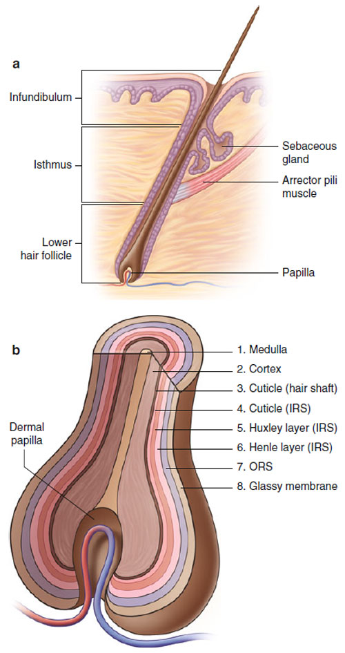 Hair And Nails Basic Science And Immunology