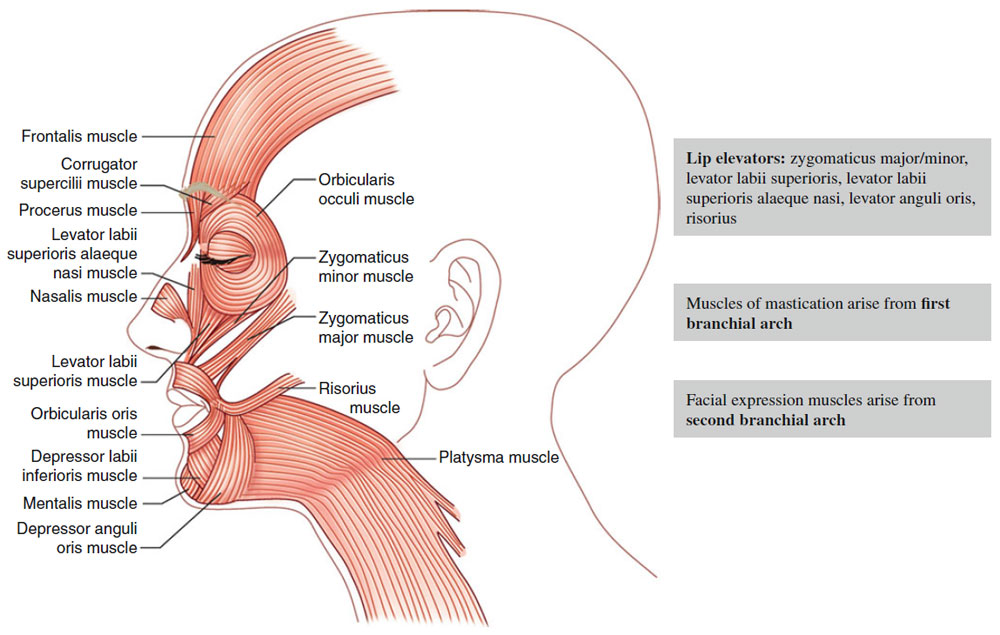 Anatomy Of Head And Neck Muscles Dermatologic Surgery