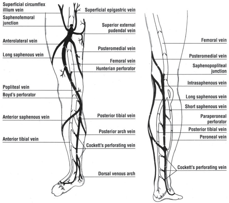 The Deep Venous System | Venous Anatomy of the Lower Extremity