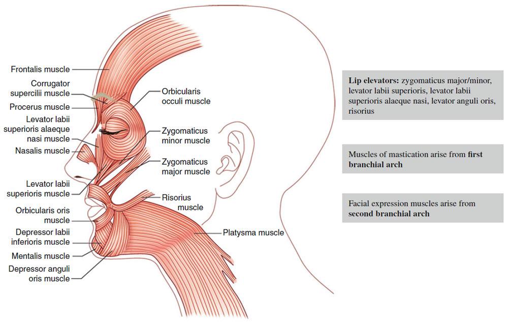 Surgical Anatomy | Dermatologic Surgery